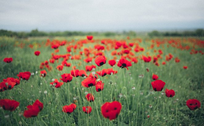 Image of Poppy Field